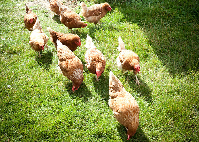 Chicken pecking food