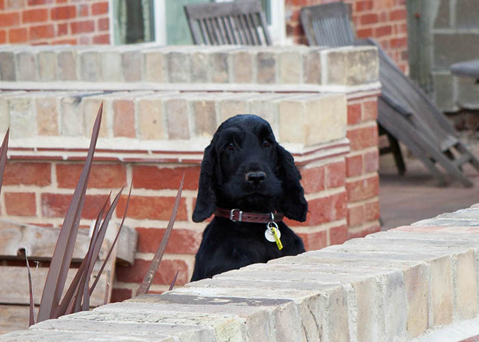 Black dog looking over a wall